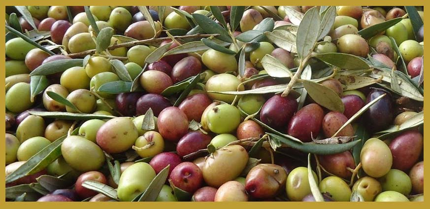 arbequina olive oil features