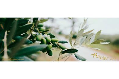 Beneficios de utilizar el aceite de oliva para la piel