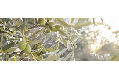 Variedad de planta de olivo koroneiki