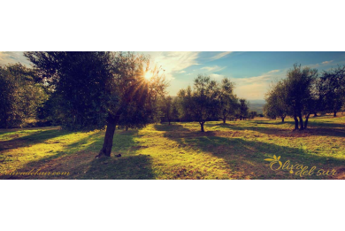 Variedad de planta de olivo Verdial de la Axarquía
